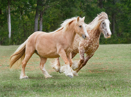HOR 01 MB0279 01 © Kimball Stock Two Gypsy Vanner Mares Galloping Through Field