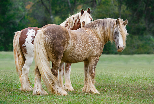 HOR 01 MB0280 01 © Kimball Stock Two Gypsy Vanner Mares Standing In Field