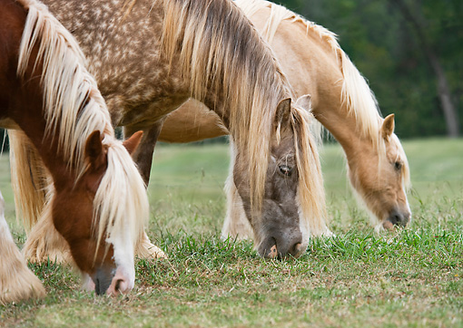HOR 01 MB0281 01 © Kimball Stock Close-Up Of Three Gypsy Vanner Mares Grazing In Field