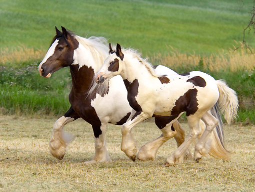 HOR 01 MB0283 01 © Kimball Stock Gypsy Vanner Mare And Foal Trotting Across Open Pasture