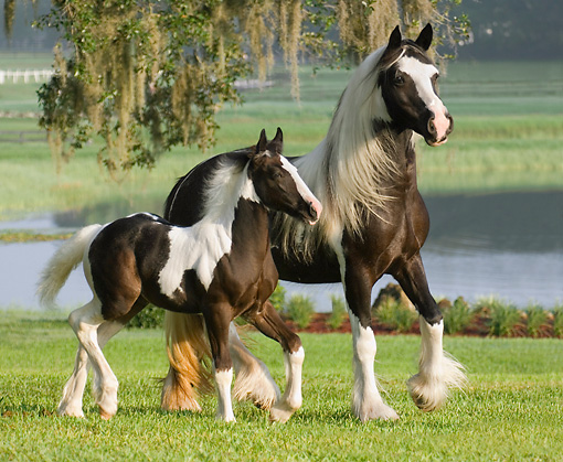 HOR 01 MB0286 01 © Kimball Stock Gypsy Vanner Mare And Foal Trotting Through Field By Lake