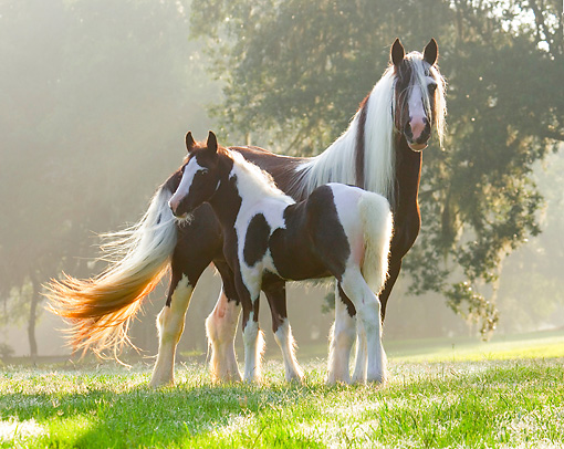 HOR 01 MB0288 01 © Kimball Stock Gypsy Vanner Mare And Foal Standing In Field