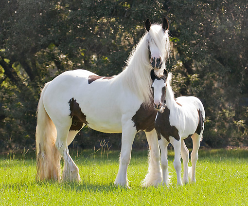 HOR 01 MB0289 01 © Kimball Stock Gypsy Vanner Mare And Foal Standing In Field