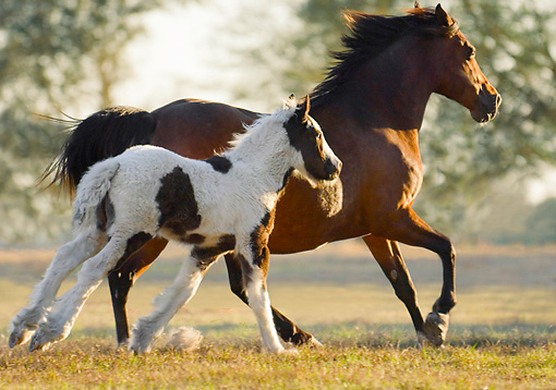 HOR 01 MB0290 01 © Kimball Stock Gypsy Vanner Mare And Foal Galloping Through Field