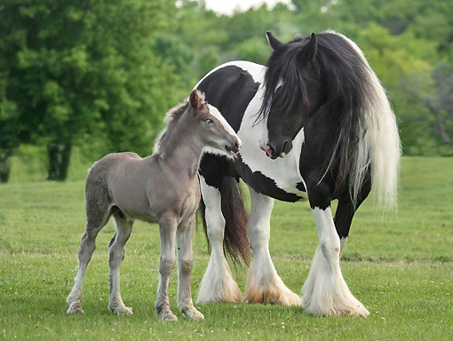 HOR 01 MB0292 01 © Kimball Stock Gypsy Vanner Mare And Foal Standing In Field