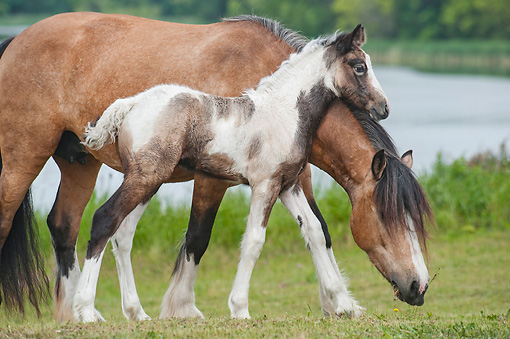 HOR 01 MB0294 01 © Kimball Stock Gypsy Vanner Mare And Foal Grazing In Field By Lake