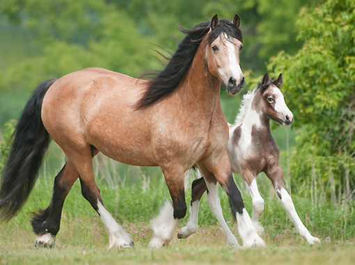 HOR 01 MB0295 01 © Kimball Stock Gypsy Vanner Mare And Foal Cantering Through Field