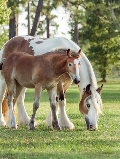 HOR 01 MB0299 01 © Kimball Stock Gypsy Vanner Mare And Foal Grazing In Field