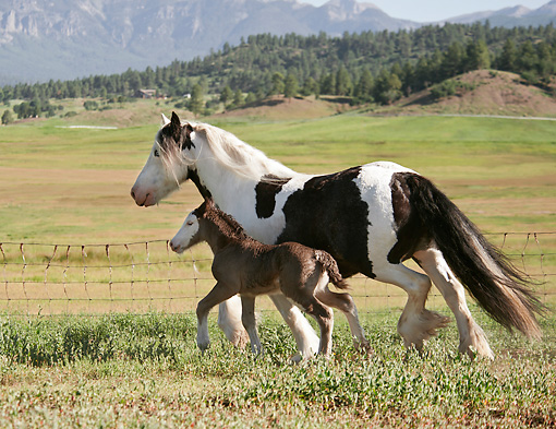 HOR 01 MB0301 01 © Kimball Stock Gypsy Vanner Mare And Foal Trotting In Pasture With Mountains In Background