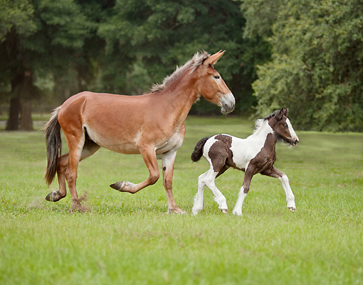 HOR 01 MB0302 01 © Kimball Stock Mule Mare And Gypsy Vanner Foal Trotting Through Field