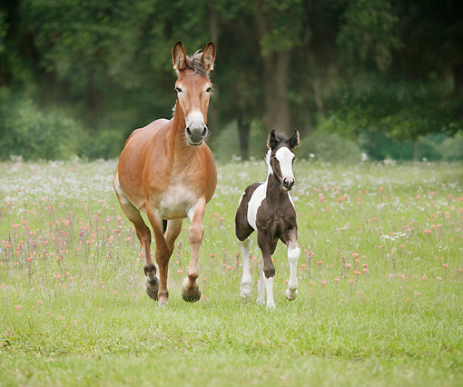 HOR 01 MB0303 01 © Kimball Stock Mule Mare And Gypsy Vanner Foal Trotting Through Field With Wildflowers