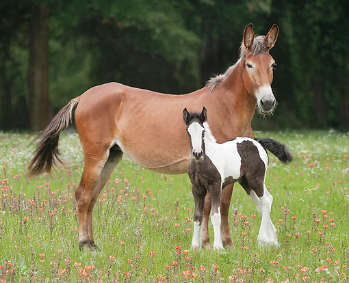 HOR 01 MB0304 01 © Kimball Stock Mule Mare And Gypsy Vanner Foal Standing In Field With Wildflowers