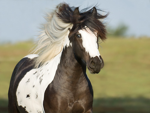 HOR 01 MB0305 01 © Kimball Stock Close-Up Of Gypsy Vanner Yearling Galloping Through Pasture