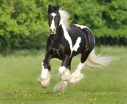 HOR 01 MB0307 01 © Kimball Stock Gypsy Vanner Stallion Galloping Through Field