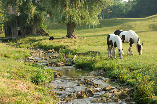 HOR 01 MB0308 01 © Kimball Stock Gypsy Vanner Horses Grazing By Shallow Stream