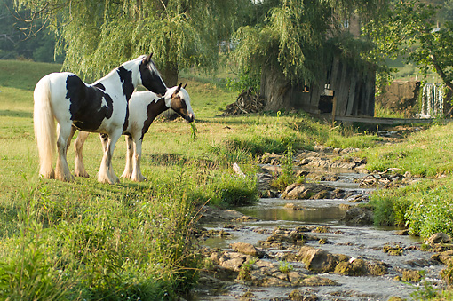 HOR 01 MB0309 01 © Kimball Stock Gypsy Vanner Horses Grazing By Shallow Stream