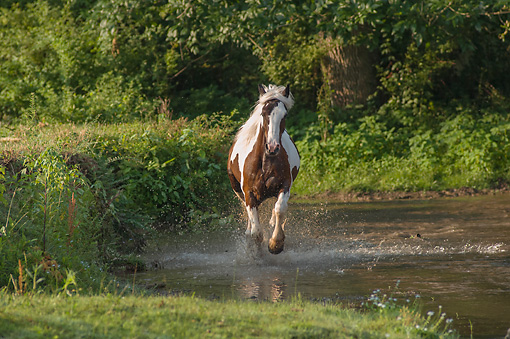 HOR 01 MB0312 01 © Kimball Stock Gypsy Vanner Horse Running Through Shallow Stream