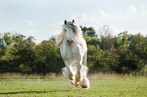 HOR 01 MB0313 01 © Kimball Stock Gypsy Vanner Stallion Galloping Through Field