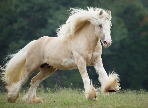 HOR 01 MB0314 01 © Kimball Stock Gypsy Vanner Stallion Galloping Through Field