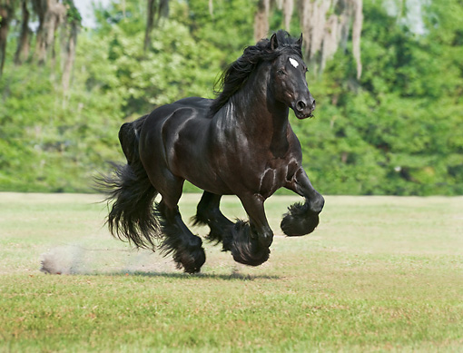 HOR 01 MB0316 01 © Kimball Stock Gypsy Vanner Stallion Galloping Through Field