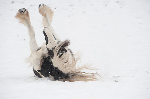 HOR 01 MB0321 01 © Kimball Stock Gypsy Vanner Horse Rolling In Fresh Snow