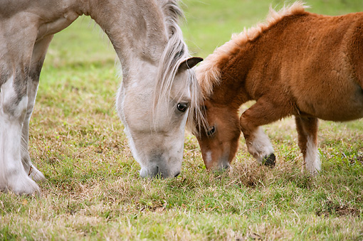 HOR 01 MB0322 01 © Kimball Stock Close-Up Of Gypsy Vanner Colt And Miniature Horse Grazing In Pasture
