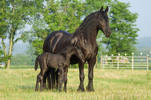 HOR 01 MB0326 01 © Kimball Stock Friesian Horse Mare And Foal Standing In Pasture