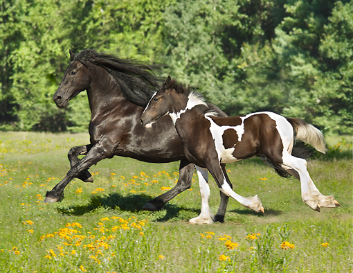 HOR 01 MB0327 01 © Kimball Stock Friesian Horse Mare And Drum Horse Cross Foal Galloping Through Meadow