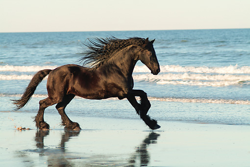 HOR 01 MB0328 01 © Kimball Stock Friesian Horse Mare Galloping On Beach