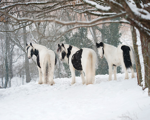 HOR 01 MB0329 01 © Kimball Stock Three Gypsy Vanner Horses Standing In Snow Storm