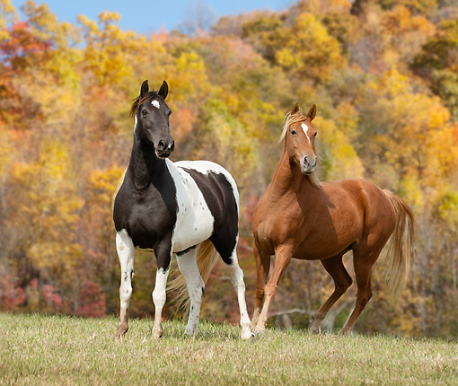HOR 01 MB0331 01 © Kimball Stock Tennessee Walking Horse And Paint Horse Standing In Autumn Field