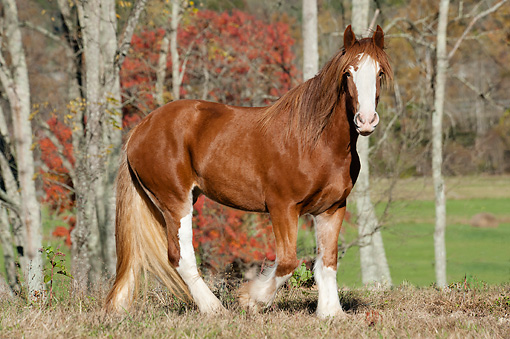 HOR 01 MB0335 01 © Kimball Stock Shire Draft Horse Mare Walking In Autumn Meadow