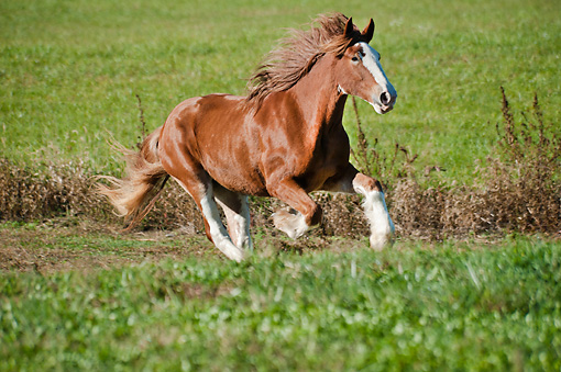 HOR 01 MB0336 01 © Kimball Stock Shire Draft Horse Mare Galloping Through Pasture
