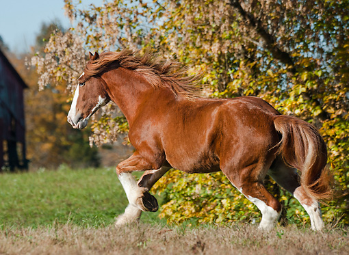 HOR 01 MB0337 01 © Kimball Stock Shire Draft Horse Mare Galloping Through Pasture