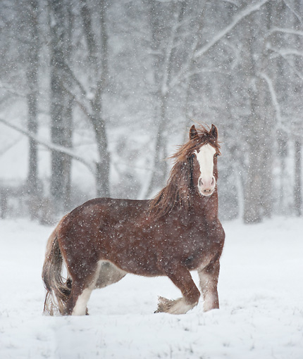 HOR 01 MB0338 01 © Kimball Stock Shire Draft Horse Mare Standing In Snow Storm