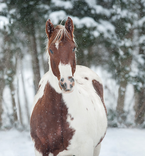 HOR 01 MB0339 01 © Kimball Stock Portrait Of Pinto Gelding Standing In Snow Storm