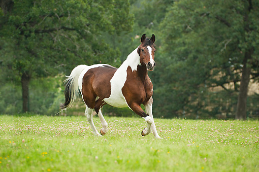 HOR 01 MB0343 01 © Kimball Stock National Show Horse-Pinto Cross Mare Cantering Through Meadow