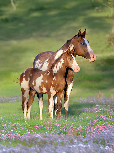 HOR 01 MB0345 01 © Kimball Stock Paint Horse Mare And Hanoveran Cross Foal Standing In Wildflowers
