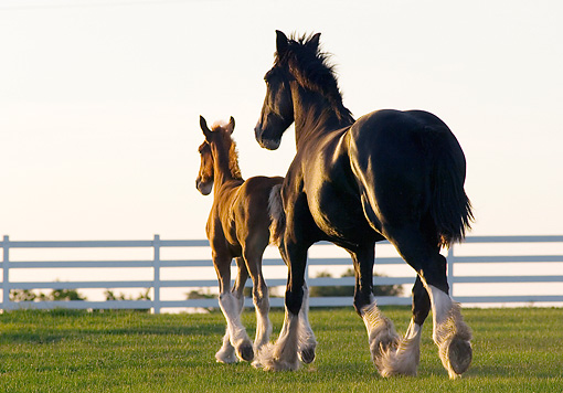 HOR 01 MB0346 01 © Kimball Stock Shire Draft Horse Mare And Sorrel Foal Trotting Through Pasture