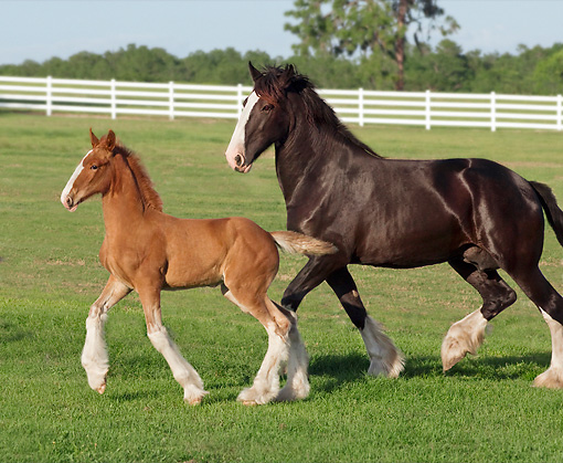 HOR 01 MB0347 01 © Kimball Stock Shire Draft Horse Mare And Sorrel Foal Trotting Through Pasture