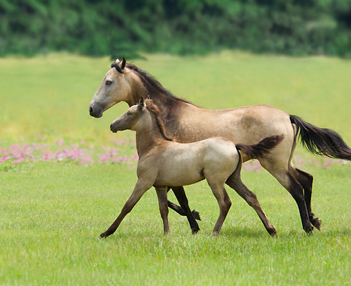 HOR 01 MB0349 01 © Kimball Stock Paso Fino Mare And Foal Cantering Through Meadow
