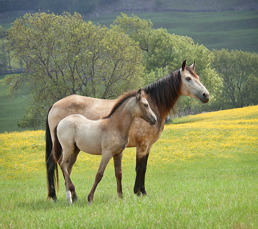 HOR 01 MB0350 01 © Kimball Stock Paso Fino Mare And Foal Standing In Meadow