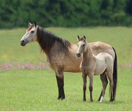 HOR 01 MB0351 01 © Kimball Stock Paso Fino Mare And Foal Standing In Meadow