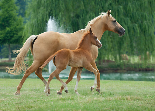 HOR 01 MB0354 01 © Kimball Stock Palomino Mare And Foal Cantering Through Grass By Fountain