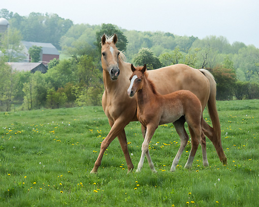 HOR 01 MB0355 01 © Kimball Stock Palomino Mare And Foal Walking Through Pasture