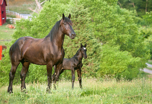 HOR 01 MB0359 01 © Kimball Stock Percheron Draft Horse Mare And Newborn Foal Standing In Pasture