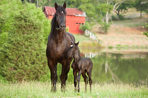 HOR 01 MB0360 01 © Kimball Stock Percheron Draft Horse Mare And Newborn Foal Eating By Pond In Pasture
