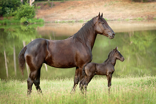 HOR 01 MB0361 01 © Kimball Stock Percheron Draft Horse Mare And Newborn Foal Standing By Pond In Pasture