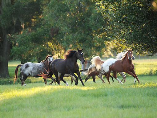HOR 01 MB0363 01 © Kimball Stock Herd Of Appalossa Horses Galloping Through Field