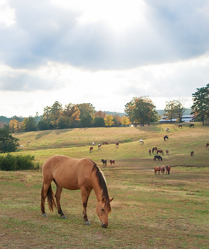 HOR 01 MB0367 01 © Kimball Stock Horses Grazing In Field